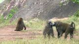 Olive baboon Footage