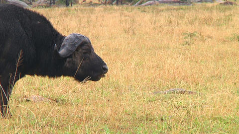 Cape buffalo Stock Video Footage