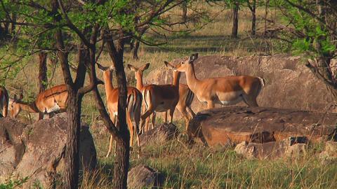 Impala Stock Video Footage