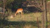 Impala Footage