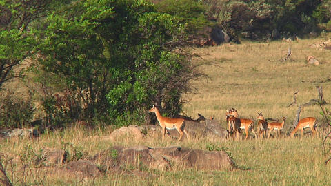 Impala Stock Video Footage