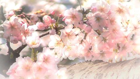 Sakura 0