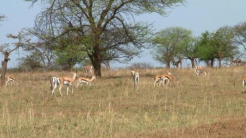 Thomson\\\'s gazelle Stock Video Footage