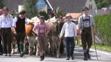 Cattle drive down from Alps, Austria Footage
