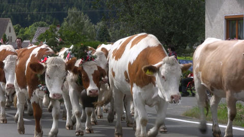 Cattle drive down from Alps, Austria Stock Video Footage