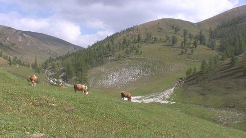 Cattle Stock Video Footage
