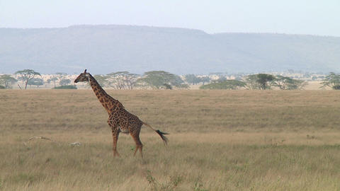 Giraffe Stock Video Footage