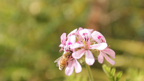 bee countryside landscape flower green field blossom... Stock Video Footage
