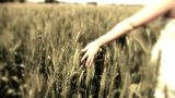 Hand Running Through Wheat Field Freedom Hand Green Organic Agriculture Wheat Harvesting Landscape C stock footage