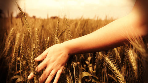 Hand running through wheat field Freedom hand green... Stock Video Footage