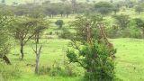 Giraffe Footage