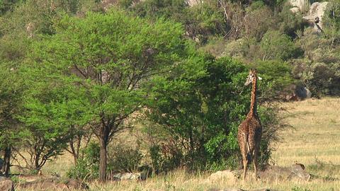 Giraffe Stock Video Footage