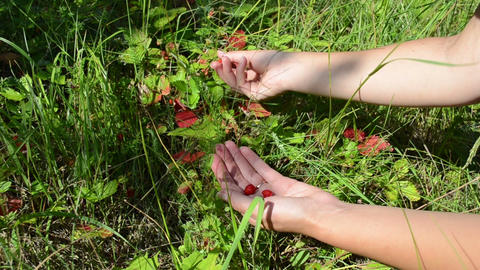 woman hands gather pick wild strawberry in garden meadow Footage