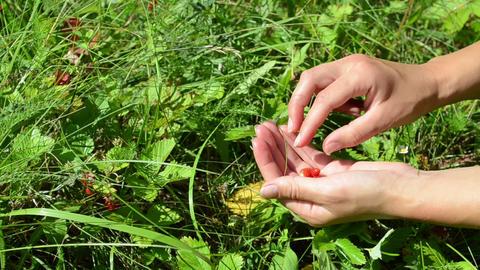 hands gather pick wild strawberry in garden meadow Footage