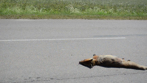 Killed dead fox animal body lay on road and car drive passing Footage