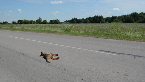 car passes on road lying dead small fox Footage