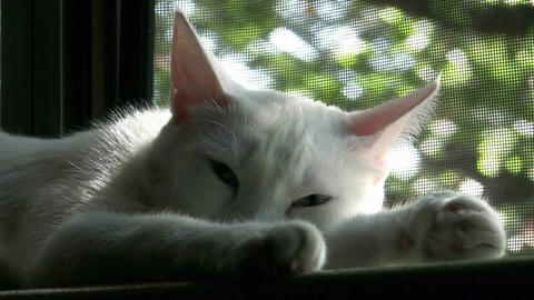 Beautiful Cat Sleeping In Window Live Action