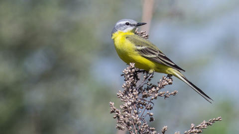 Yellow wagtail 7 Footage