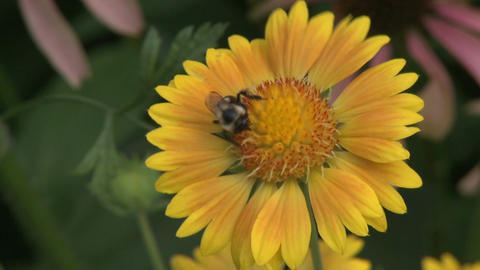 Pollination of a beautiful sunflower (1 of 2) Footage