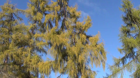 Panorama of larch tree branches on blue sky in autumn park Footage