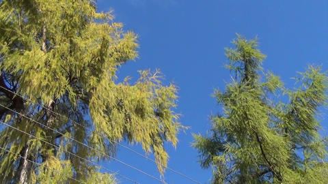 Panorama of larch tree branch on blue sky in autumn park Footage