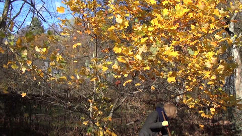 Zoom out of colorful autumn tree and girl gardener rake leaves Footage