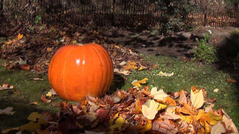 Pumpkin Between The Leaves In The Shadow Flickering Tree Branch stock footage