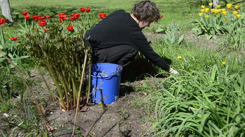 woman looks after tulip flower beds in spring garden Footage