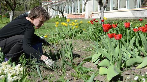 Panorama of gardener girl work between tulip flower beds Live Action