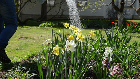 water pouring from watering can onto blooming narcissus flower Footage