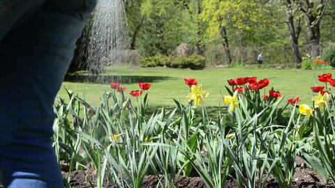 Closeup of narcissus and tulip flowers watering in spring garden Footage