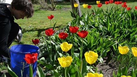 Tilt up of gardener woman work between tulip flower beds Live Action