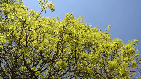 Maple tree leaves buds and blooms on blue sky in spring Footage