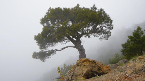 A Lonely Pine In A Fog On The Mountain.Time-lapse stock footage