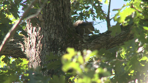 Squirrel (3 of 3) Footage