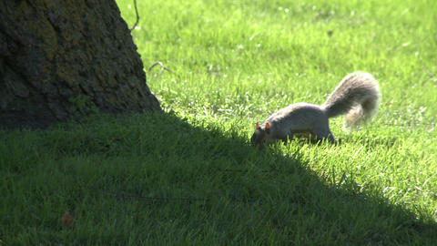 Squirrel looking for nuts in the grass Footage