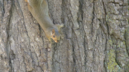 Squirrel on a tree (4 of 4) Footage