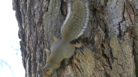 Squirrel on a tree (2 of 4) Footage