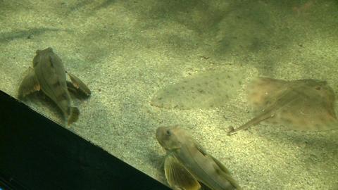 The amazing flatfish (5 of 5) Footage