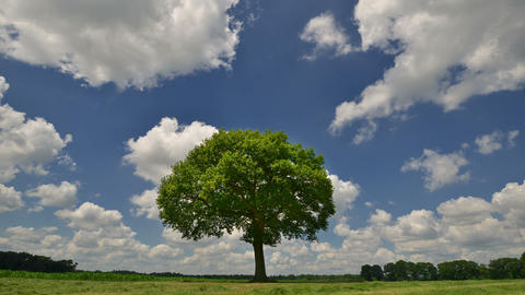 tree under puffy clouds time lapse 4k UHD 11659 Footage
