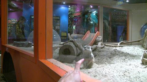 Friendly Meerkats (1 Of 5) stock footage