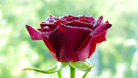 4k, Red rose flower rotates Footage