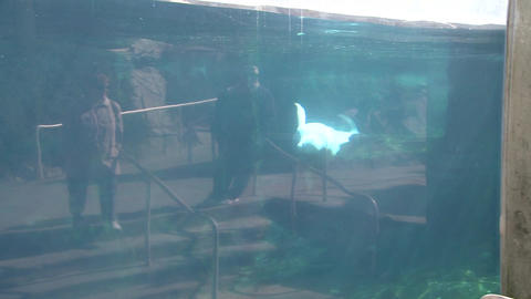 Observing a Beluga Whale (2 of 9) Footage