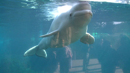 Observing a Beluga Whale (3 of 9) Footage