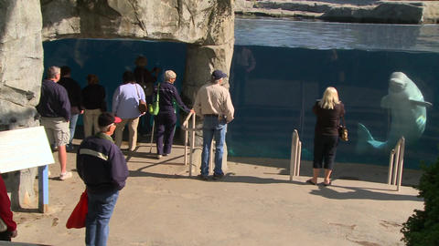 Observing a Beluga Whale (5 of 9) Footage