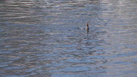 Duck splashing in a pond Footage