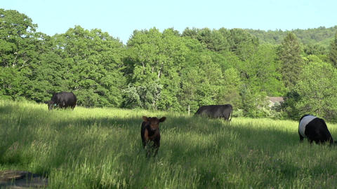 Cows grazing in a large field (3 of 5) Footage