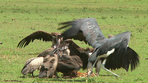African White-Backed Vulture Stock Video Footage