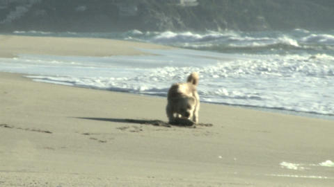 dog running towards wood stick Stock Video Footage