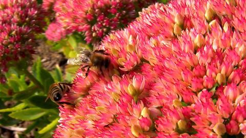 Showy Stonecrop and Honeybees Stock Video Footage